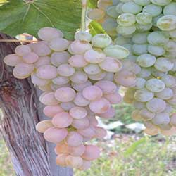 Csemegeszőlők Archives | kertorokseg.hu webáruház