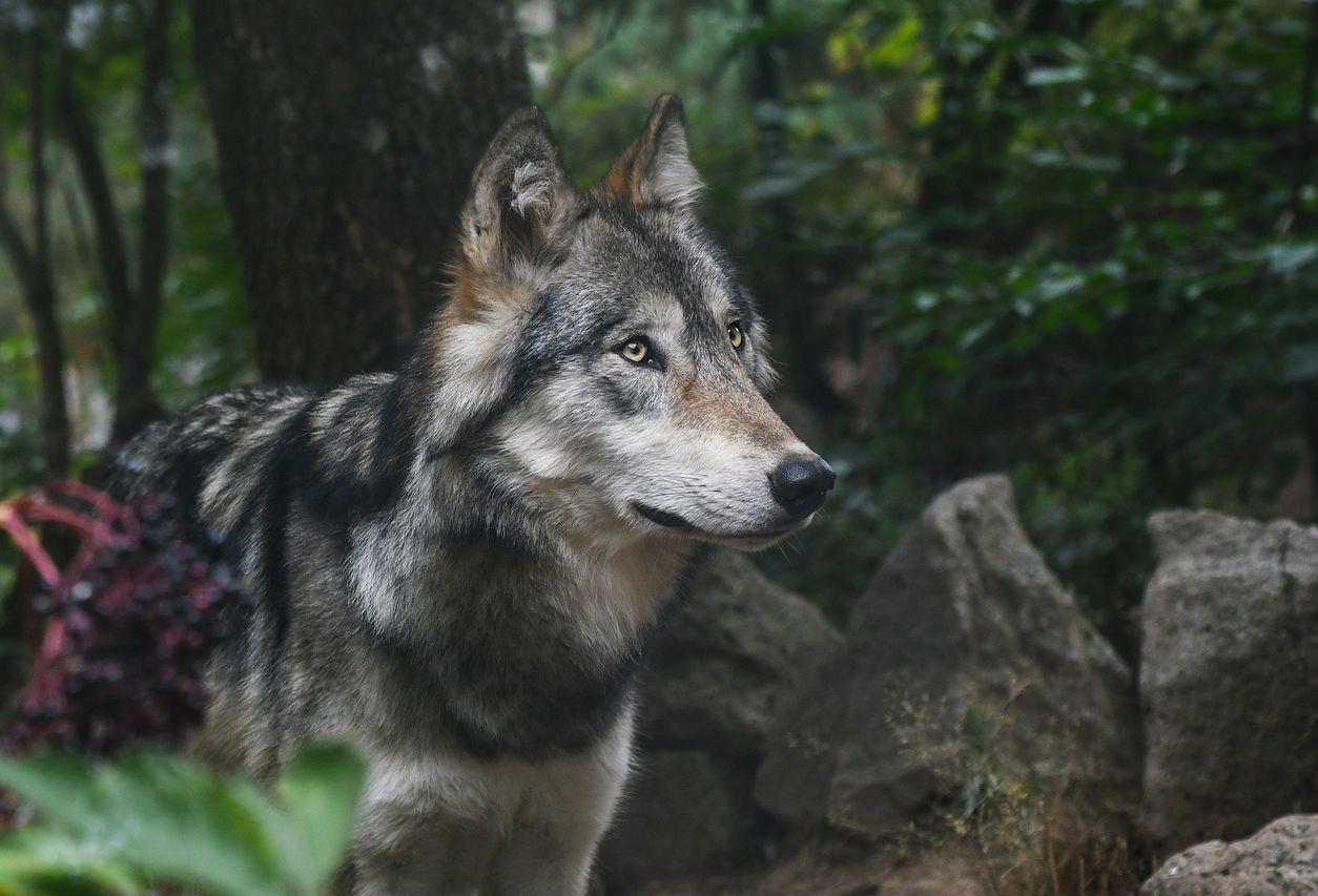 kereskedő farkas